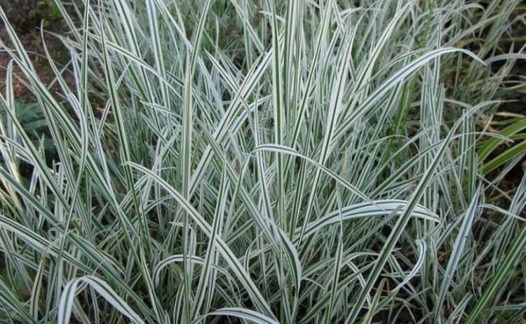 Виды трав для газона рейграс