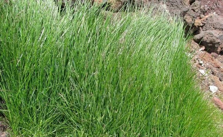 Полевица собачья нежная трава