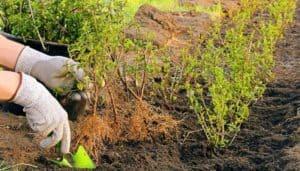 Как сделать живую изгородь из бирючины обыкновенной? Обзор и посадка