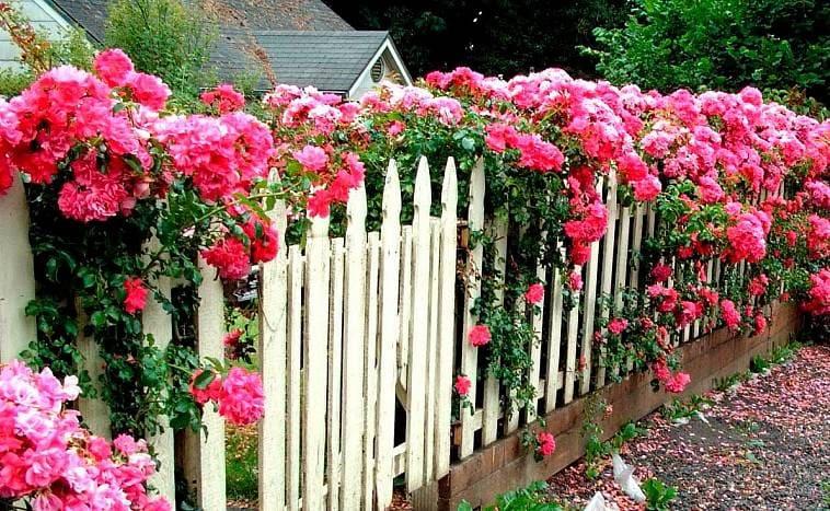 Штакетник с вьющимися розами