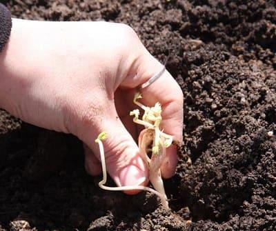 Астильба: Как посадить?