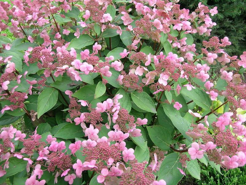 Гортензия метельчатая: описание, сорта, посадка, уход и размножение