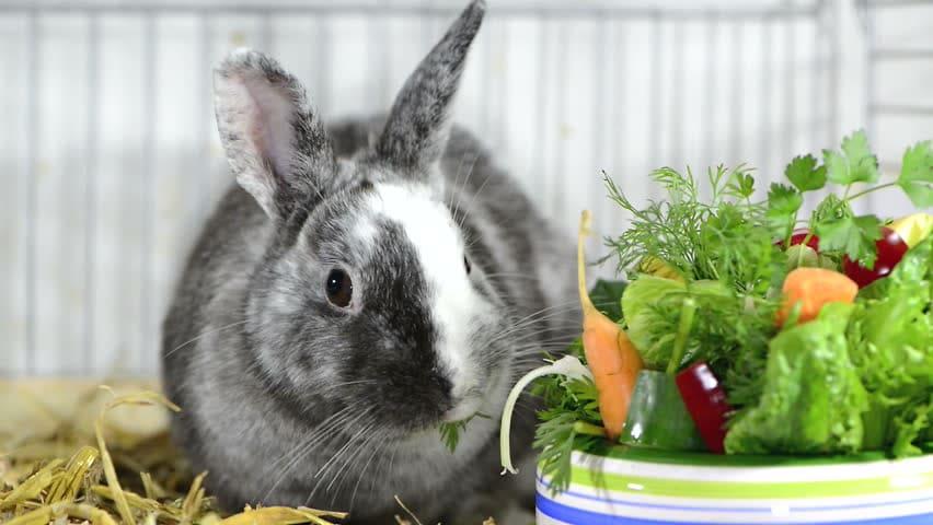 Декоративные кролики: описание пород, уход в домашних условиях