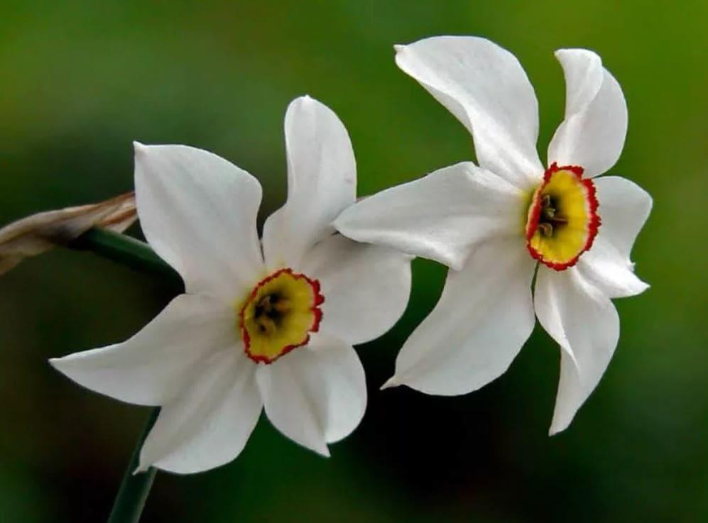 Нарциссы: описание, посадка, уход и размножение