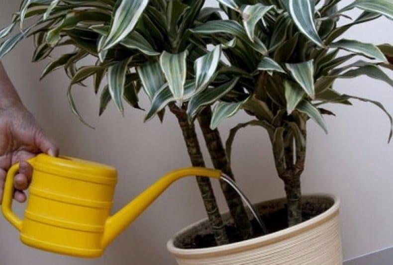 Фикус: что такое, виды и уход в домашних условиях