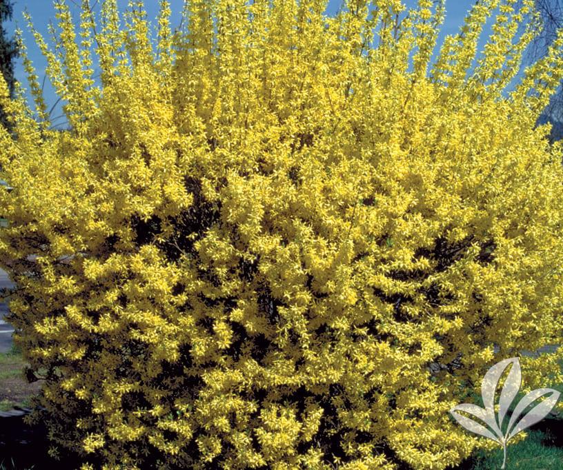Форзиция: описание видов и сортов кустарника, правила выращивания