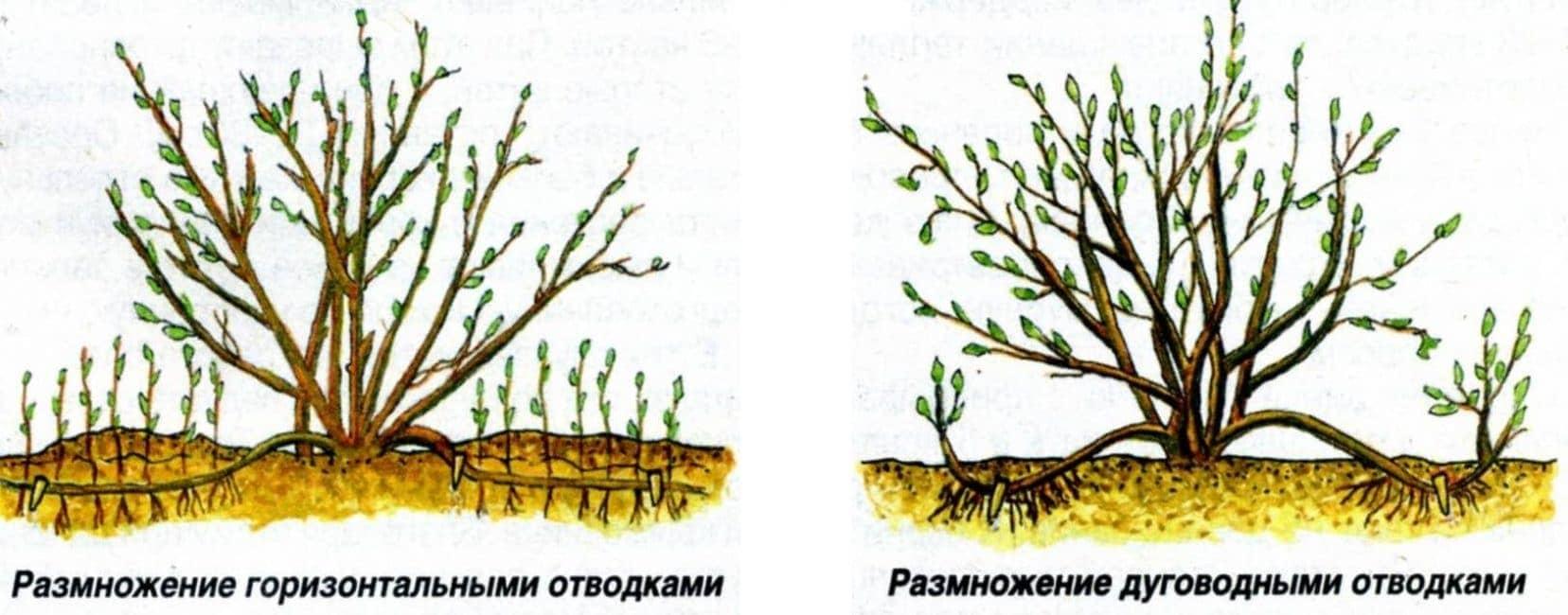 Камнеломка: описание, виды, правила посадки и ухода