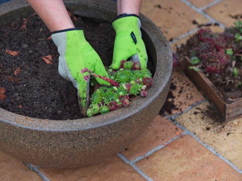 Молодило: описание, разновидности и советы по выращиванию