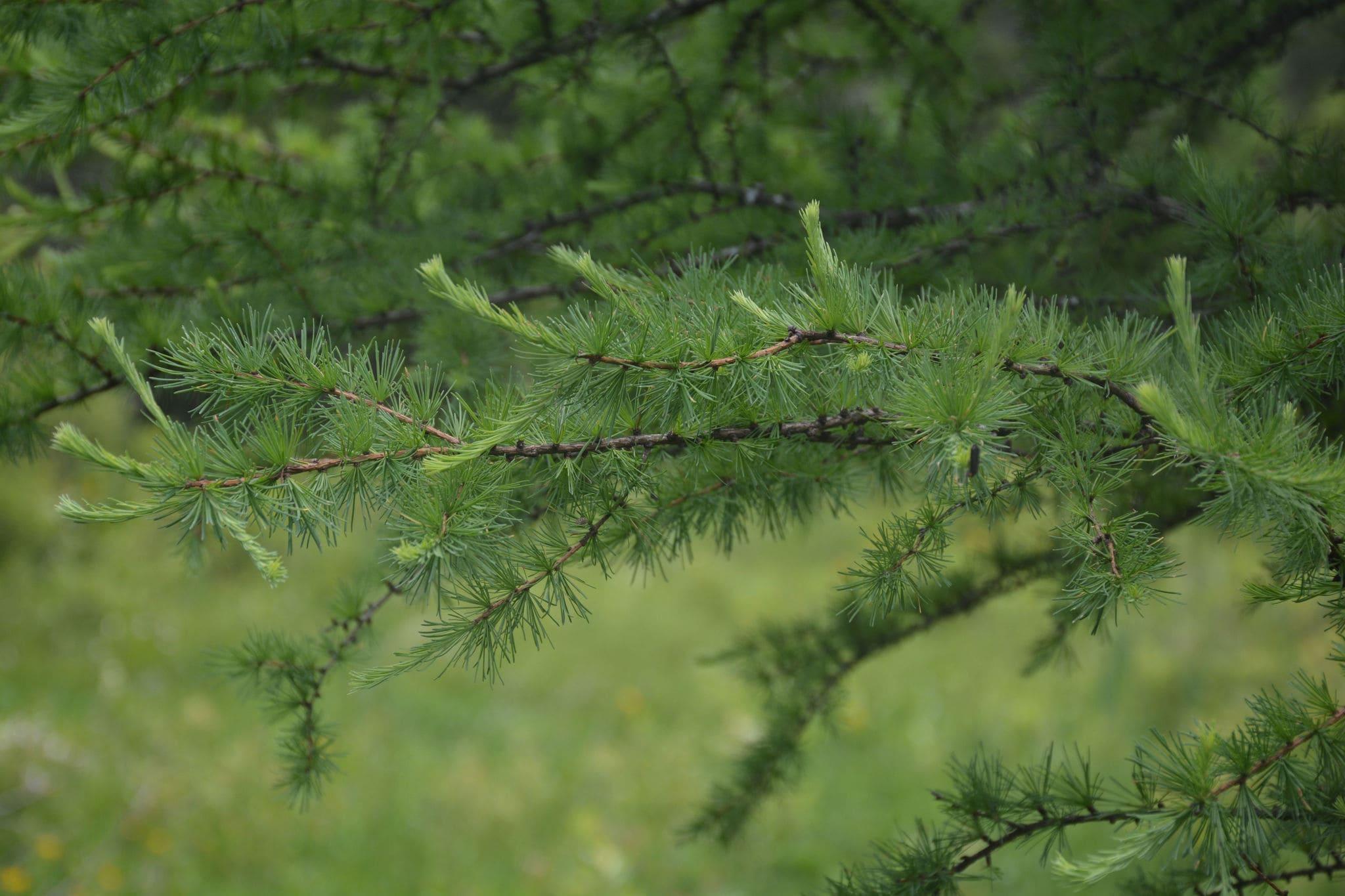 Все о лиственнице - описание и разновидности, выращивание и размножение 07