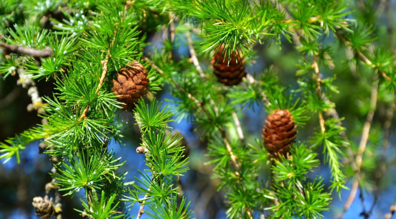 Все о лиственнице - описание и разновидности, выращивание и размножение 08