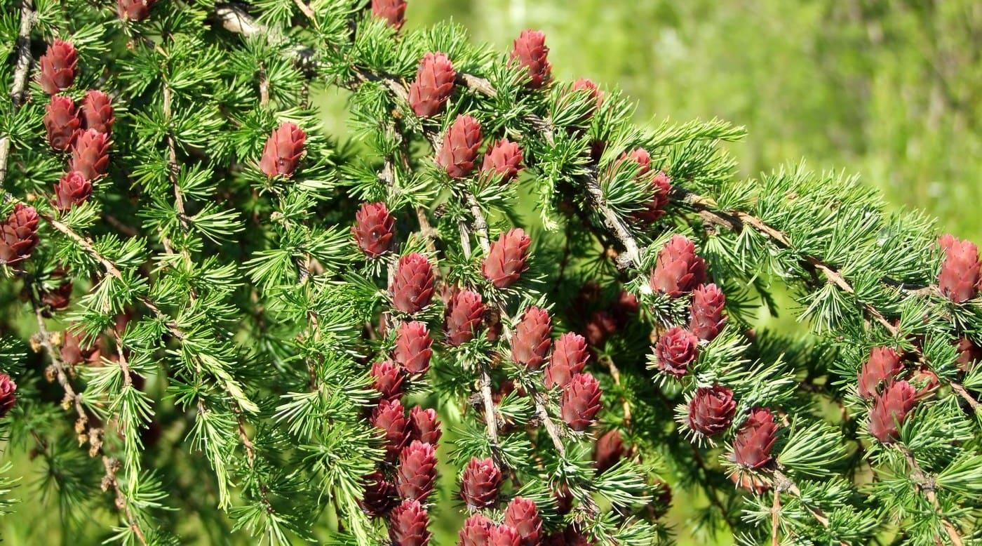 Все о лиственнице - описание и разновидности, выращивание и размножение 10
