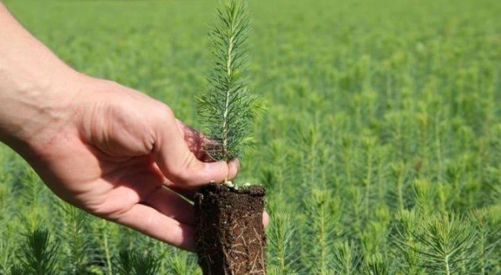 Все о лиственнице - описание и разновидности, выращивание и размножение 13