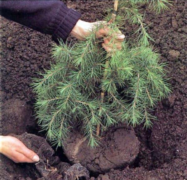 Все о лиственнице - описание и разновидности, выращивание и размножение 14