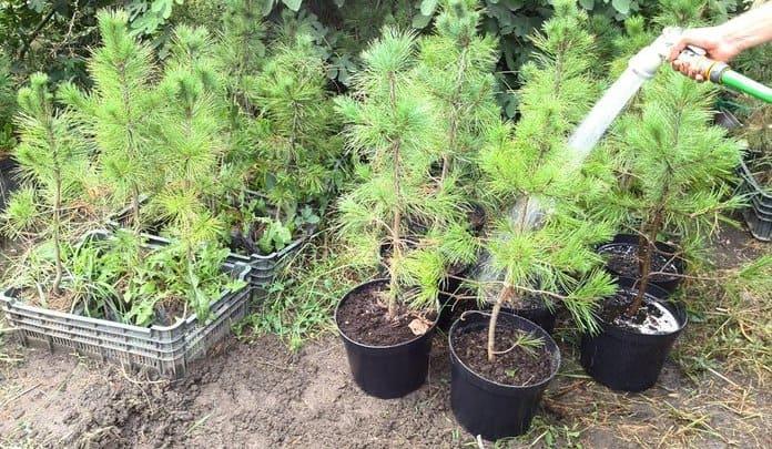Все о лиственнице - описание и разновидности, выращивание и размножение 16