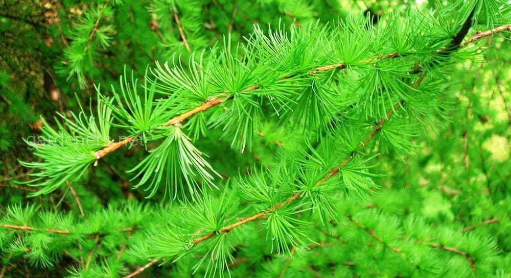 Все о лиственнице - описание и разновидности, выращивание и размножение 20