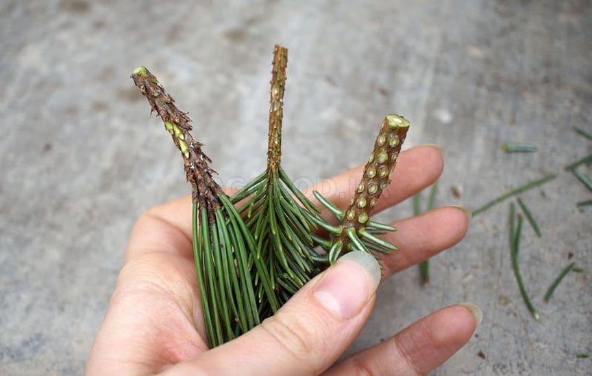 Все о лиственнице - описание и разновидности, выращивание и размножение 22