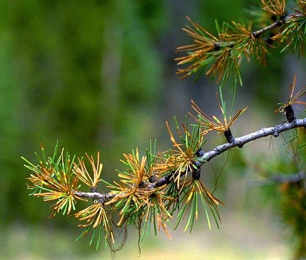 Все о лиственнице - описание и разновидности, выращивание и размножение 25