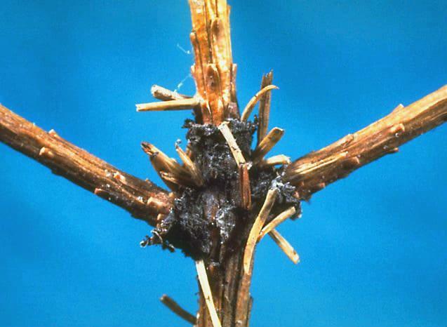 Все о лиственнице - описание и разновидности, выращивание и размножение 31