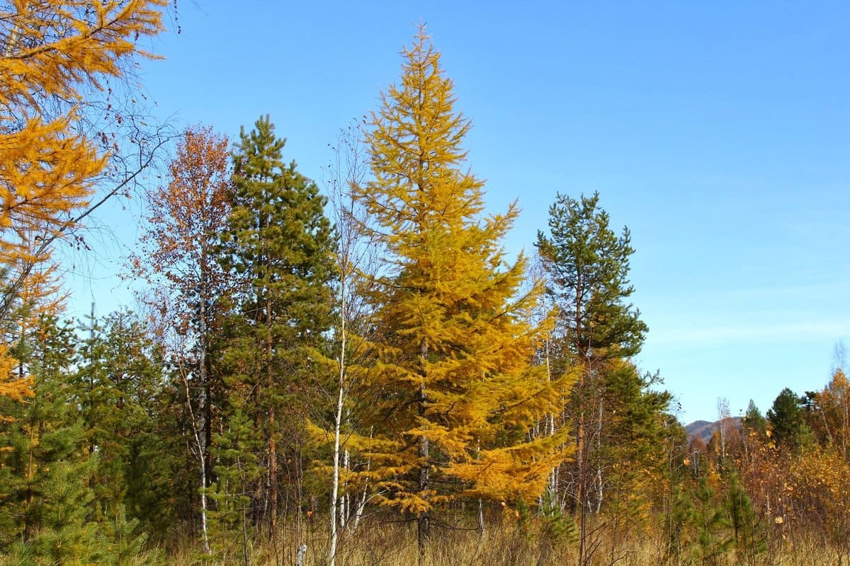 Все о лиственнице - описание и разновидности, выращивание и размножение 34